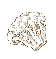 Picture of broccoli vector