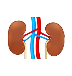two human kidney vector image