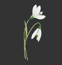 Watercolor snowdrop flower vector