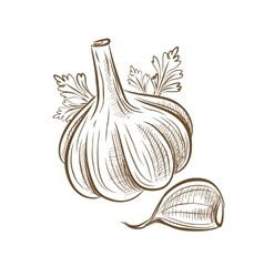 Picture of garlic vector