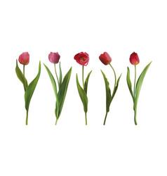 set tulip flowers vector image vector image