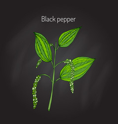 Black pepper plant vector