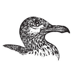 Great black backed gull vintage vector