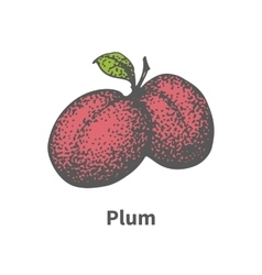 Hand-drawn two juicy ripe red plum vector