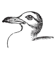 Killiwake gull vintage vector