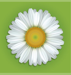 white chamomile flower vector image vector image