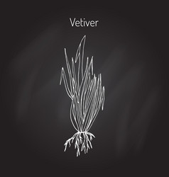 Vetiver aromatic plant vector