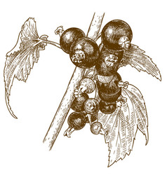 engraving of currant berry vector image