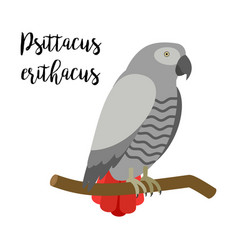 grey tropical psittacus erithacus parrot bird vector image