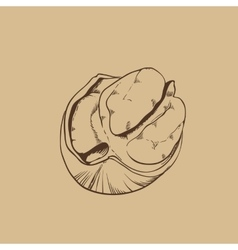 Pecan isolated on vintage background vector