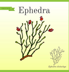 Red berries herb ephedra distachya vector