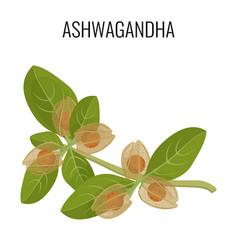 Ashwagandha ayurvedic herb isolated on white vector