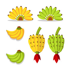 Bunch of bananas with yellow and green vector