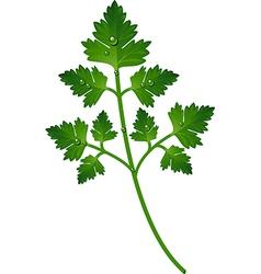 Parsley leaf vector