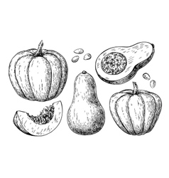 Pumpkin and butternut squash drawing set vector