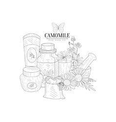 Camomile natural product hand drawn realistic vector