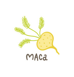 maca root superfood vector image