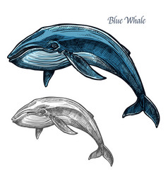 Blue whale isolated sketch for sea animal design vector