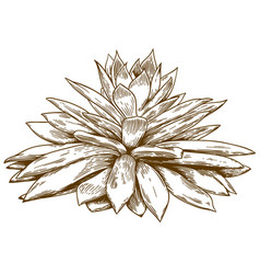 Engraving drawing of echeveria vector