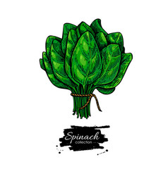 Spinach bunch hand drawn vegetable vector