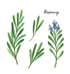 Watercolor branches and leaves of rosemary vector