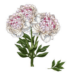 Hand drawn bouquet of gently pink peony flowers vector