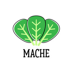 mache green salad leaves isolated on the white vector image vector image