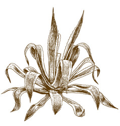 Engraving of agave vector