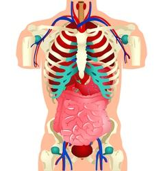 Human Organs vector image