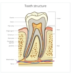 Human tooth structure medical vector image