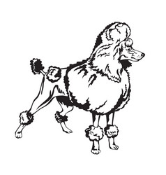 decorative poodle vector image