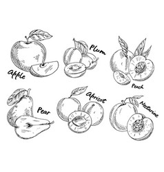 Sketch of apple and plum pear and apricot vector