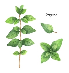 Watercolor branches and leaves of oregano vector image