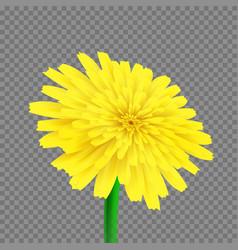 dandelion isolated vector image