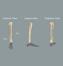 fibula and tibia anatomy vector image