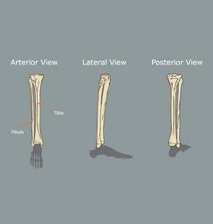 fibula and tibia anatomy vector image vector image