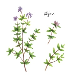 Watercolor branches and leaves of thyme vector image
