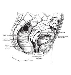 Female pelvis vintage vector