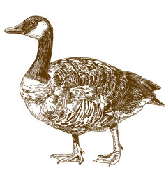 Engraving drawing of canada goose vector