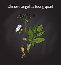 angelica sinensis or dong quai or female ginseng vector image vector image