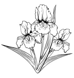 hand drawn iris flower sketch vector image vector image