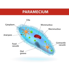 Structure of a paramecium vector image vector image