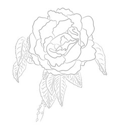 drawing of rose for coloring book vector image