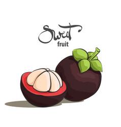 sweet mangosteen vector image vector image