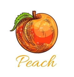 Fresh orange peach fruit sketch for food design vector image