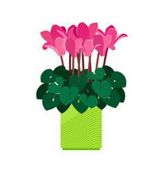 Cyclamen house plant vector