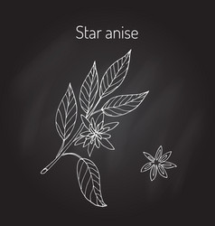Star anise aromatic plant vector