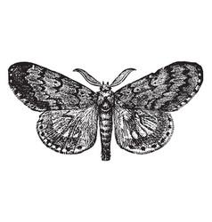 Gypsy moth male vintage vector