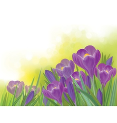 Spring crocuses flowers vector