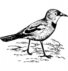 Bird podoces panderi vector